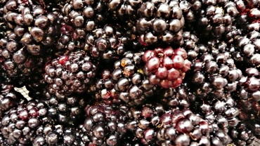 Freshly-picked blackberries