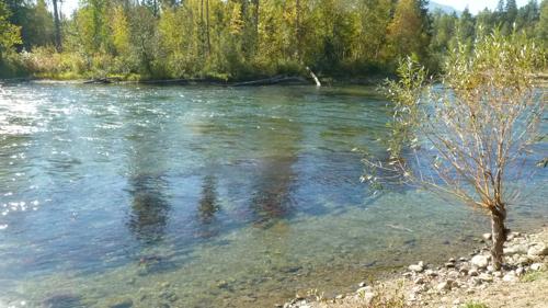 Salmon run at Adams River